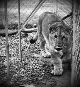 The last photo of the day is of Dandelion, the cutest little doe-eyed lioness this side of Mississippi.  She was hanging out in her feeding station when I took these.