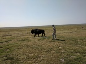 Our ranch Manager and Nellie walking to the herd.